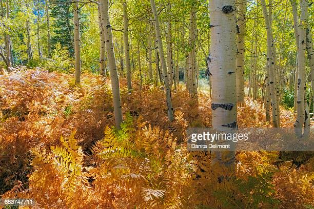 Bracken ferns and aspen trees, Wasatch Cache National Forest, Utah, USA