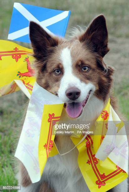 Bracken the border collie during a march and rally in Edinburgh calling for a Yes vote in next year's independence referendum