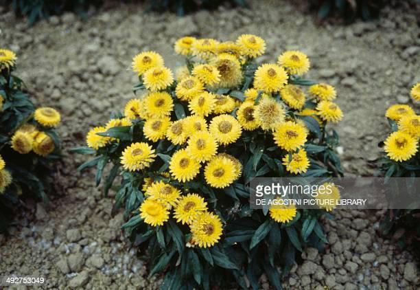 Bracted strawflower or Everlasting flower Asteraceae