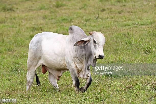 Brahman bull - Costa Rica