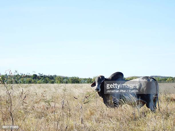 Brahman Cattle Standing On Grassy Field Against Clear Sky
