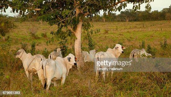 Brahman cattle under a tree in a field : Stock Photo