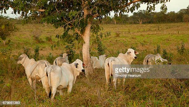 Brahman cattle under a tree in a field
