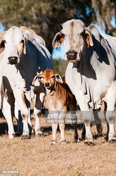 Brahman cows with calf