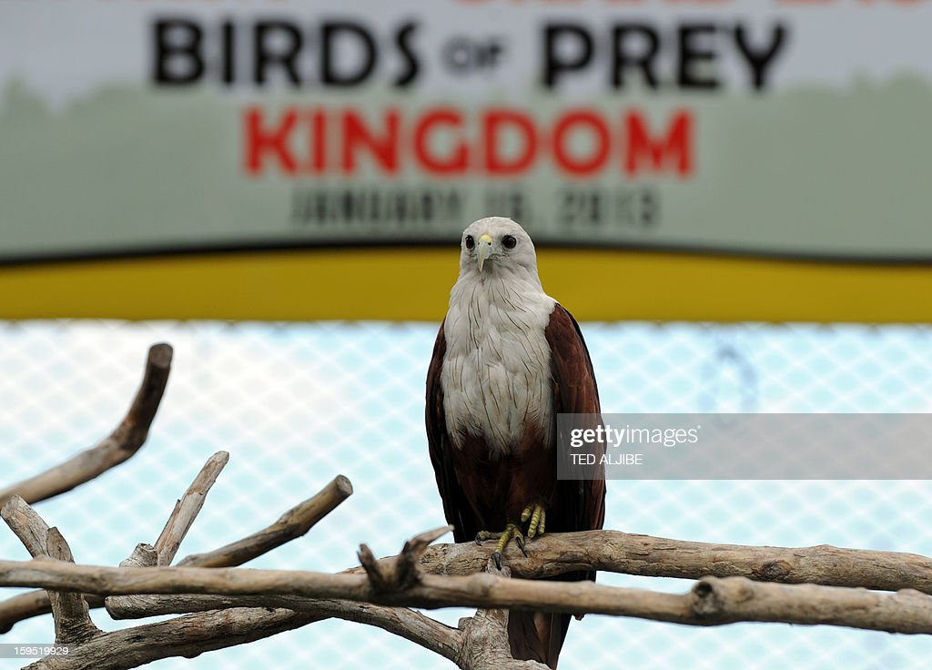 A Brahminy kite (Haliastur indus) locally know as Lawin, rests inside an enclosure of Ocean park along Manila bay on January 15, 2013, during its launching of birds of prey as part of the park's latest attraction. The Brahminy kite has a pure white head and chest, and feeds on carrion (dead animals), insects, reptiles, amphibians, crustaceans, and fish. It can be found in India, Pakistan, China, Bangladesh and southeast Asia.