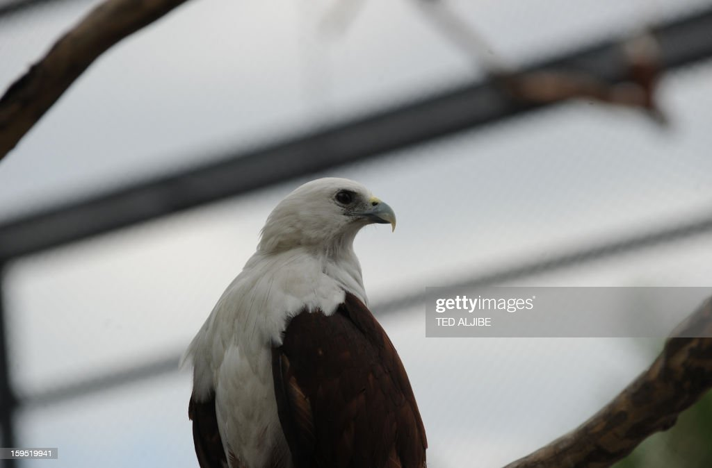 A Brahminy kite (Haliastur indus) locally know as Lawin, rests inside an enclosure of Ocean park along Manila bay on January 15, 2013, during its launching of birds of prey as part of the park's latest attraction. THe Brahminy kite has a pure white head and chest, and feeds on carrion (dead animals), insects, reptiles, amphibians, crustaceans, and fish. It can be found in India, Pakistan, China, Bangladesh and southeast Asia. AFP PHOTO/TED ALJIBE