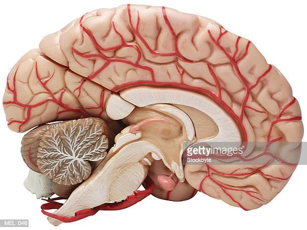 Brain, cross-section