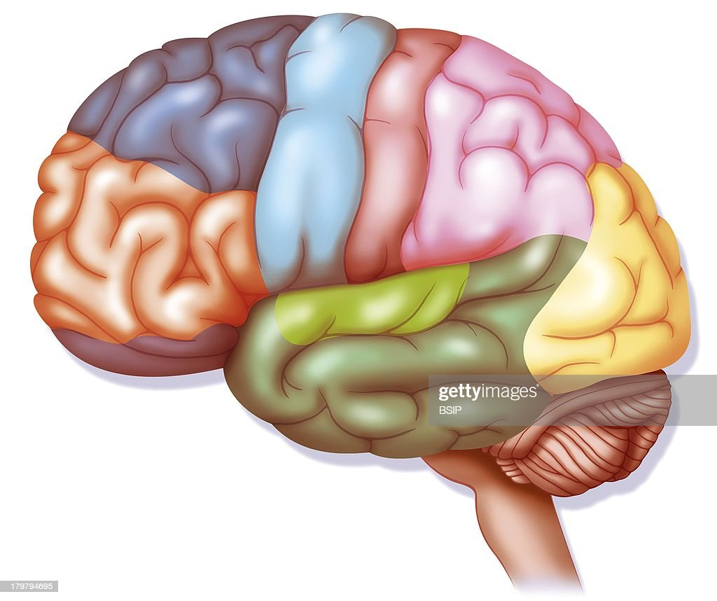 Brain Drawing Parietal Cortex Pink Auditive Cortex Light Green Inferotemporal Gyrus Dark Green Language And Memory Visual Cortex Yellow