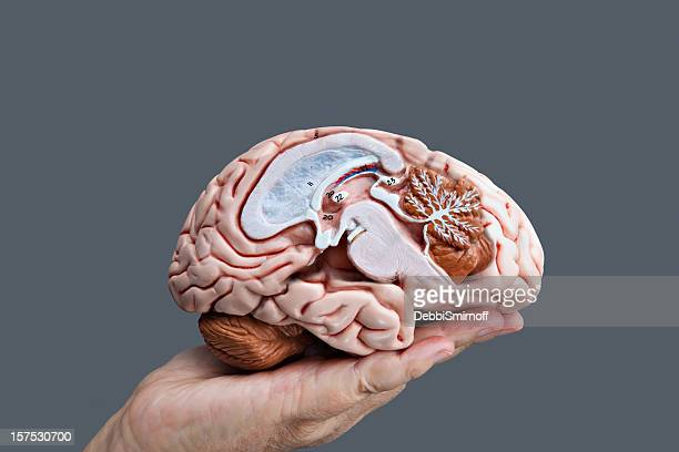 Cerveau de l'éducation