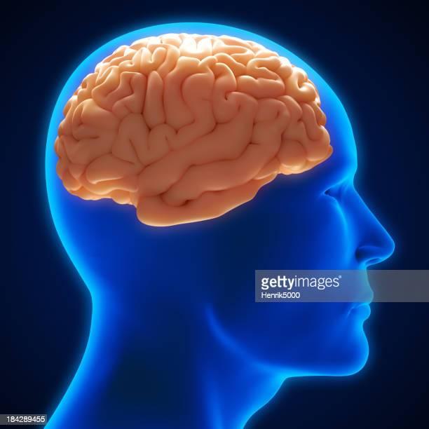 Gehirn im Kopf