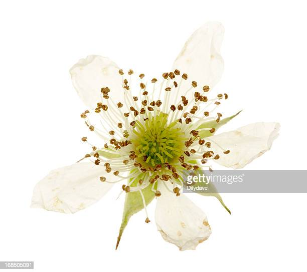 Bramble Flower Isolated On White