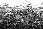 Impenetrable bramble hedge in black and white.