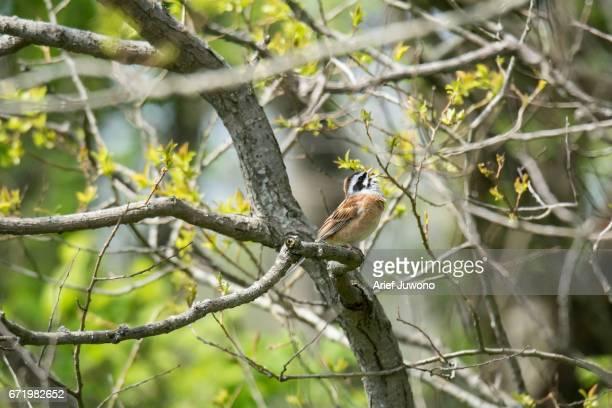 Brambling Bird