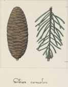 Branch and pine cone of the White Fir Pineceae drawing