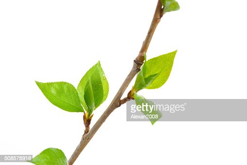 Branch aspen tree with spring buds isolated on white : Stockfoto
