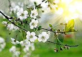 AST eines blühenden Baum