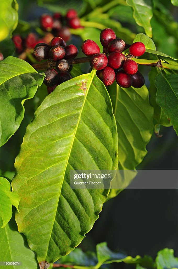 Branch of a Coffee plant (Coffea arabica) with ripe fruits