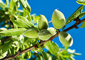 closeup of a branch of an almond tree with some green almonds against the blue sky