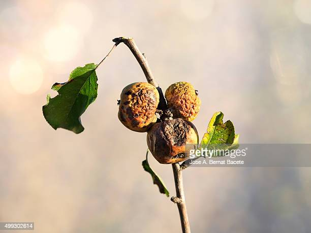 Branch of an apple tree in autumn with rotten apples and dry leaves