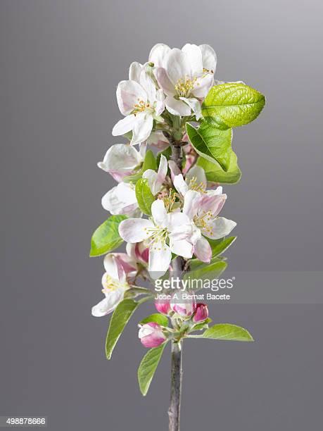 Branch of an apple tree in flower