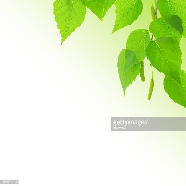 Branch of birch with young green leaves