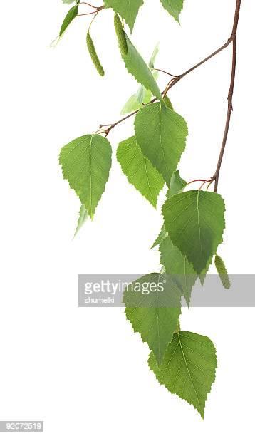 Branche de bouleau avec de jeunes feuilles vertes