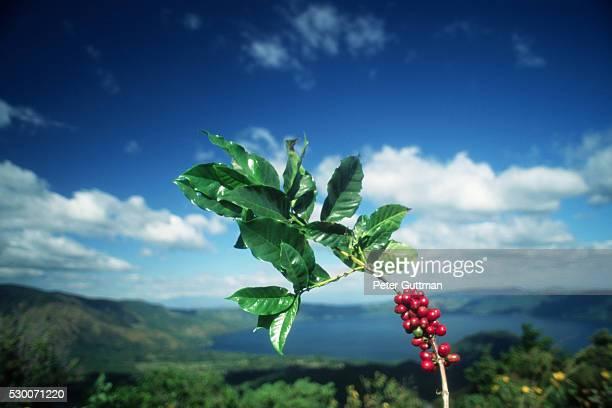 Branch of Coffee Tree in El Salvador