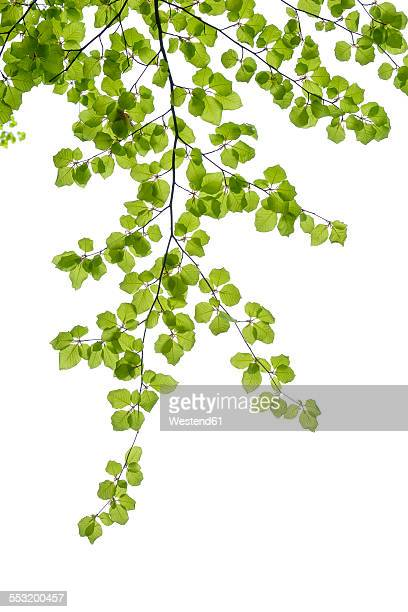 Branch of European beech in front of white background