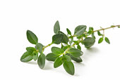 Fresh-picked thyme sprig, isolated on white.  Please see:  http://robynm.smugmug.com/photos/265712091_f6Mdn-L.jpg