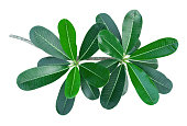 branch of green frangipani leaf isolated on white background, top view for gardening