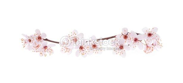 branche de cerisier japonais en fleurs photo thinkstock. Black Bedroom Furniture Sets. Home Design Ideas