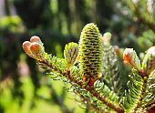 A branch of Korean fir with young cone in spring garden