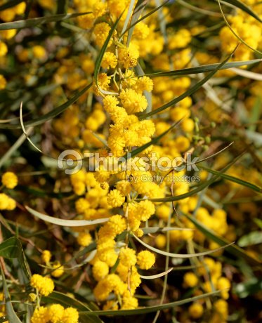 Branch of mimosa plant with round fluffy yellow flowers stock photo branch of mimosa plant with round fluffy yellow flowers stock photo mightylinksfo