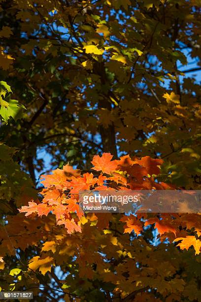 branch of orange leaves in Fall