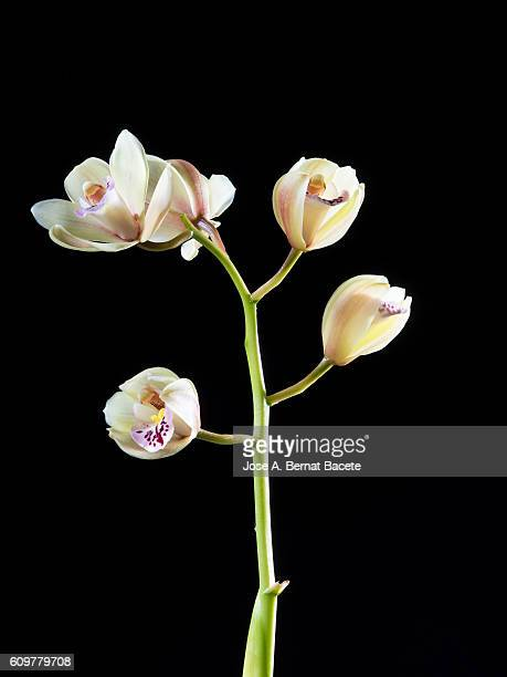Branch of orchids (Ophrys Cymbidium) on a black blackground