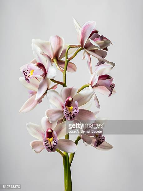 Branch of orchids (Ophrys Cymbidium) on a gray blackground
