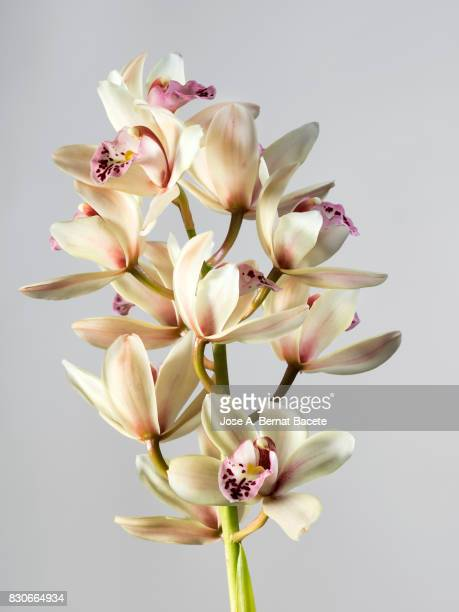 Branch of orchids (Ophrys Cymbidium) , studio shot on a white background cut-out