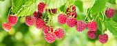 branch of ripe raspberries in a garden on green background