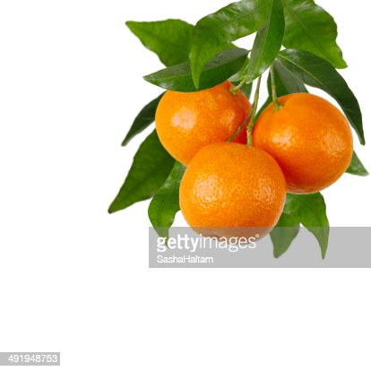 Branch of tangerines on a white background
