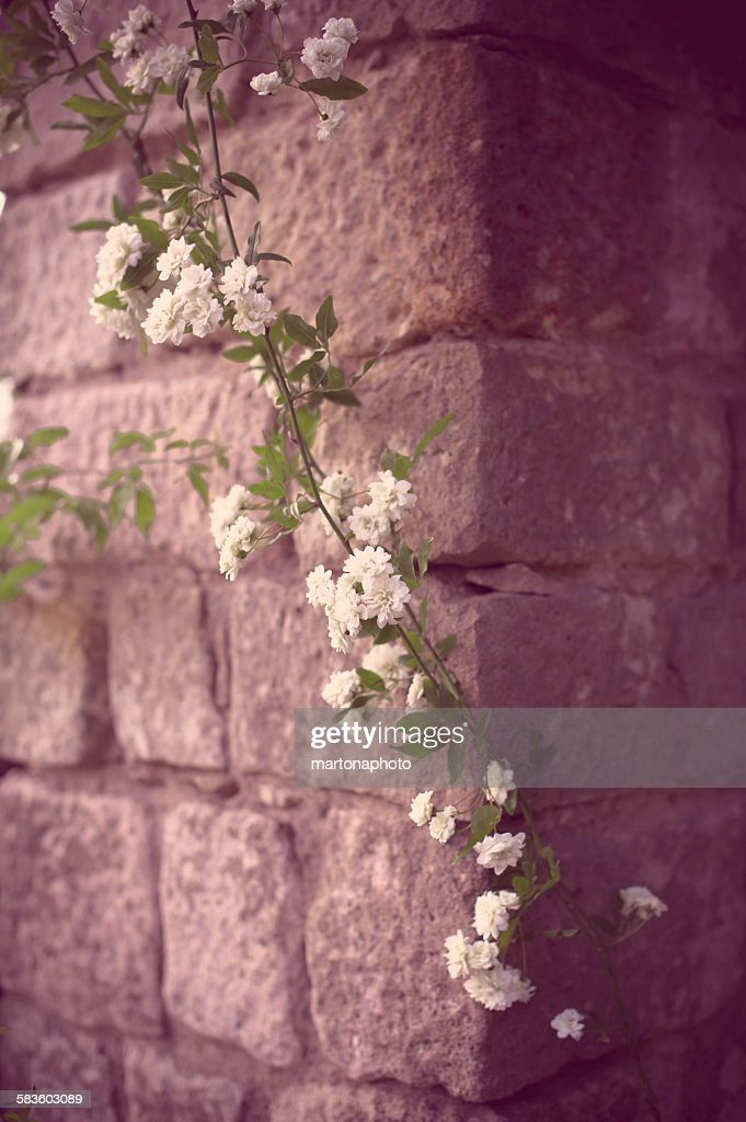 Branch of white roses on stone wall : Foto de stock