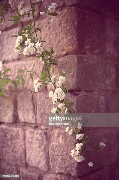 Branch of white roses on stone wall