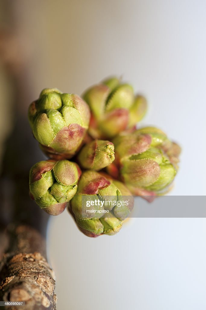 Branch with buds. : Stock Photo