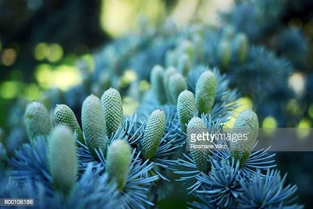 Branch with cones of Atlas Cedar, selective focus.