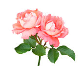 Branch with two pink and peach roses climbing the stem, leaves and buds isolated on white background with a clipping path.