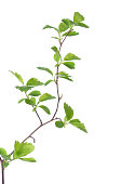 Branch with young green spring leaves isolated on white