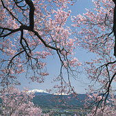 Branches of a blossoming cherry tree with a snowcapped mountain in the distance, Kasuga Park, Ina, N