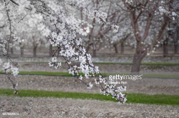 Branches of almond blossoms against a blurred almond orchard background