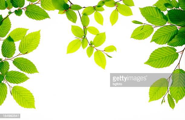 Branches of fresh green leaves on white bright background