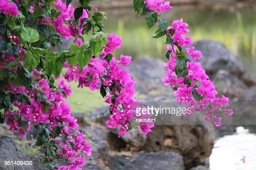 Branches Avec Des Fleurs Lumineuses Bougainvilla Rose Suspendue