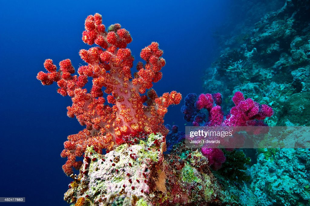 A branching orange and purple Tree Coral perched on a shelf on a reef. : Stock Photo